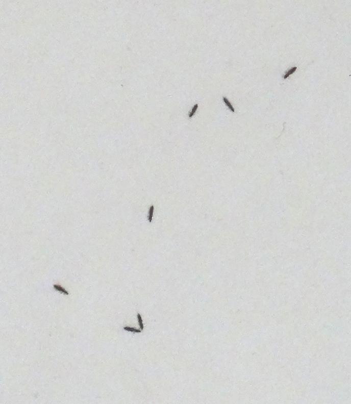 BeautyBlog-små-sorte-insekter2