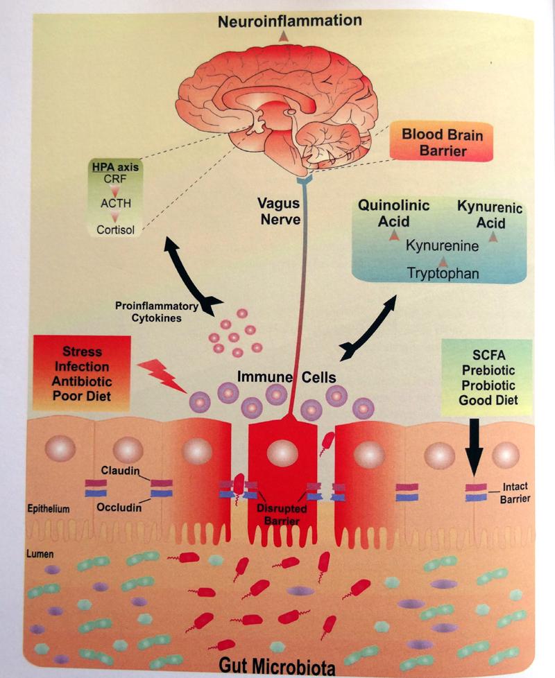 beautyblog-sund-med-dine-gode-bakterier-graf-blod-hjerne